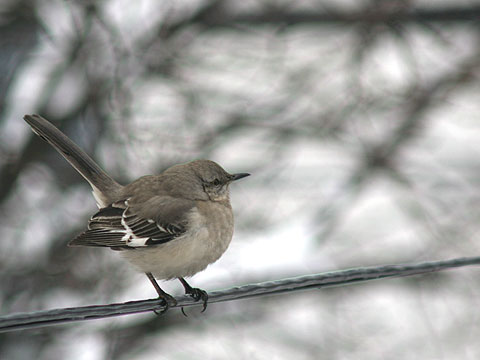 マネシツグミ Northern Mockingbird