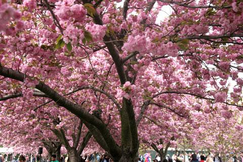 ブルックリン植物園桜満開