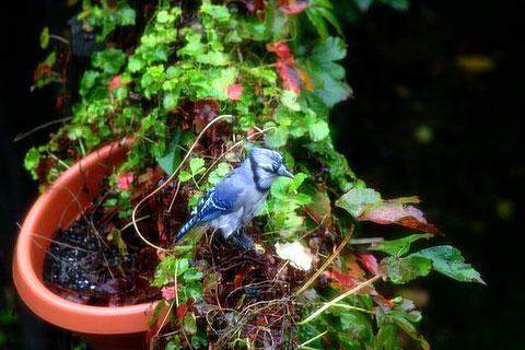 青い鳥、ブルージェイ