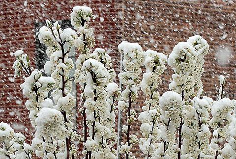 雪の中の街路樹の花