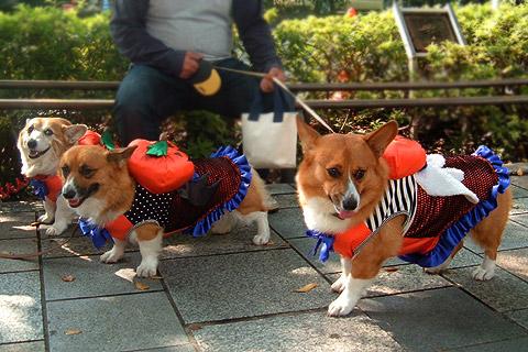 ハロウィン。犬の仮装 in 東京