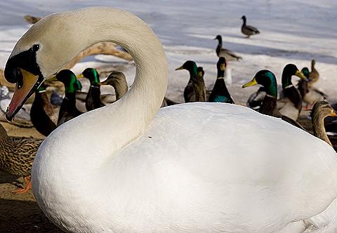 冬の公園の白鳥