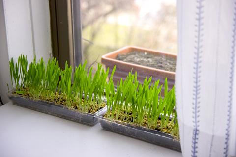 窓際でウィートグラス大麦栽培