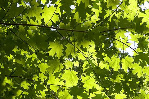 散歩写真:木の葉模様