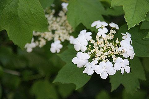 散歩写真:ガクアジサイみたいな花