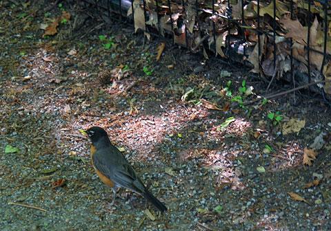 散歩写真:ロビン、コマドリ