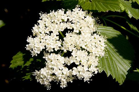 散歩写真:ブーケみたいな小さい白い花