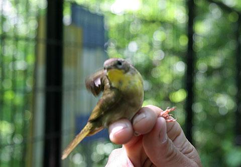 黄色い鳥:スローライフ、公園散歩写真
