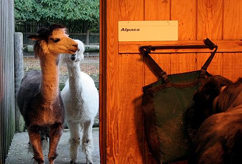 25zoo_alpacas.jpg