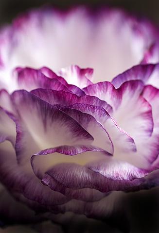 ラナンキュラスの白とパープルの花