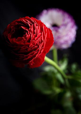 ラナンキュラスの赤い花&パープルの花