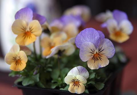 ビオラの花の写真