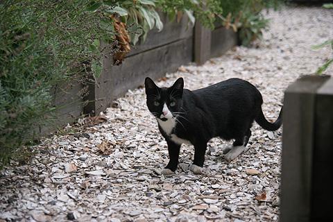 白靴下の黒猫ちゃん