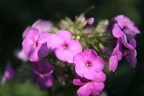 青っぽいピンクの花:ガーデンフラワー