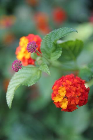 ブローチみたいな花:ガーデンフラワー