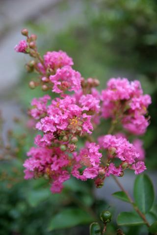 ピンクの木の花:ガーデンフラワー