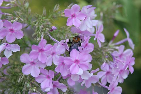 紫ピンクの花とクマバチ:ガーデンフラワー