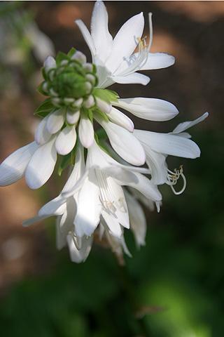 白い花:ガーデンフラワー