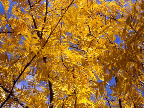 ブナ黄葉:ニューヨーク紅葉狩り