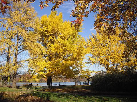 銀杏黄葉:ニューヨーク紅葉狩り