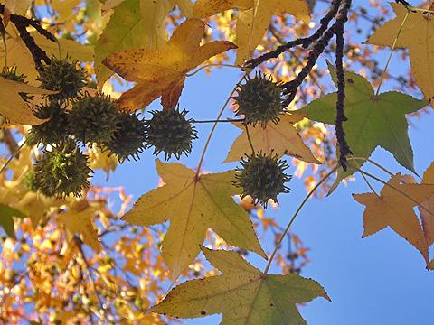 スウィートガム:ニューヨーク紅葉狩り