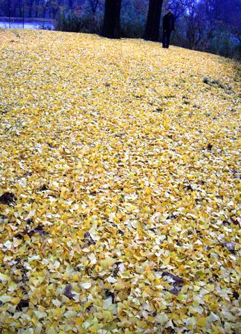 ニューヨーク紅葉狩り:イチョウ黄葉
