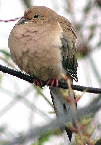 バード・ウォッチング 鳩