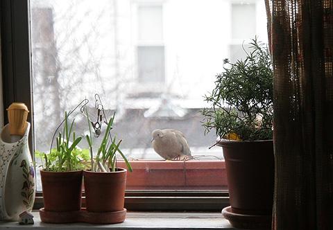 窓外バード・ウォッチング、モーニング・ドーブ