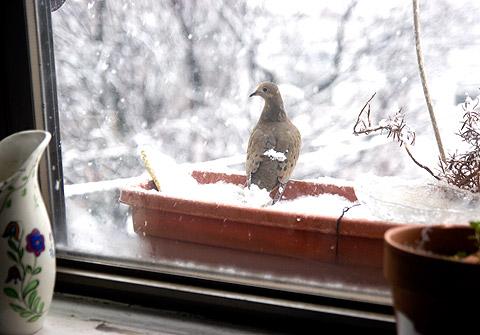 モーニング・ドーブの羽根に雪