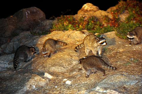 野生のアライグマ集団