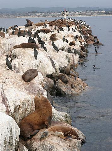 トド カリフォルニア・アシカの島