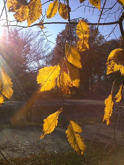 ニューヨーク黄葉