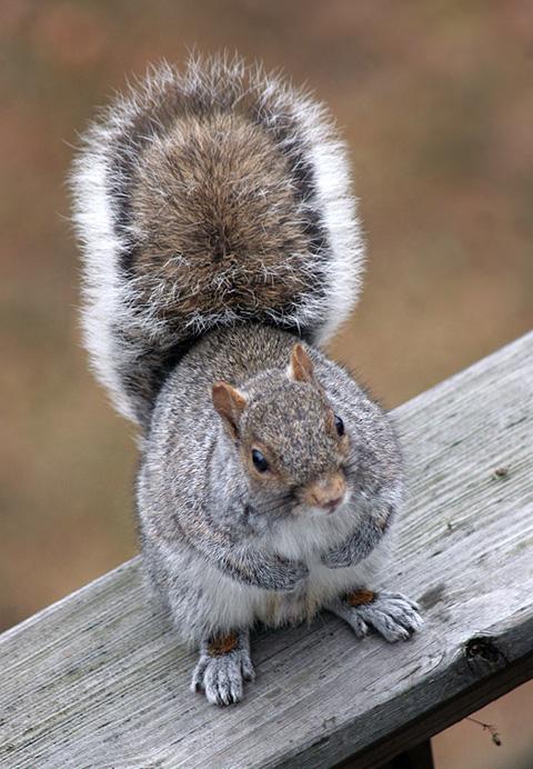 灰色リスのマルオ丸い尻尾