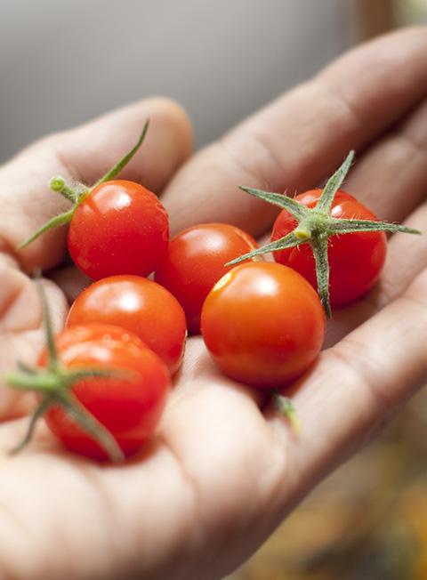 摘みたてプチトマト