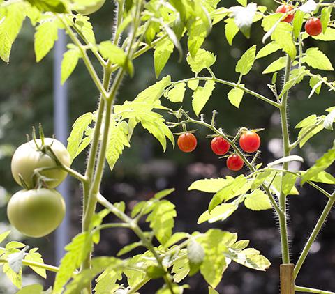 窓外プランター・ガーデンのトマト、クローズアップ