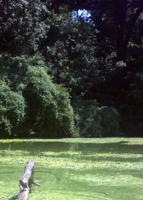 ニューヨークの野鳥、グリーンヘロン