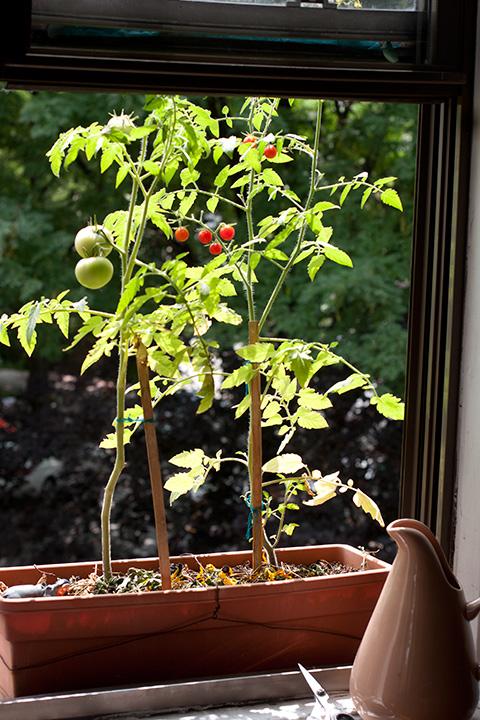 窓外プランター・ガーデンのプチトマト