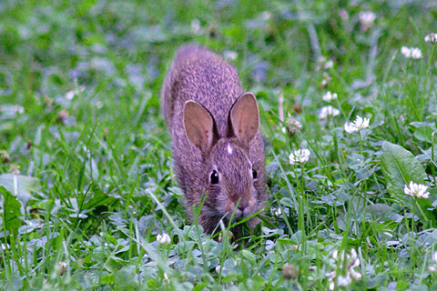ピーターラビットみたいな野ウサギ正面顔、かわいい