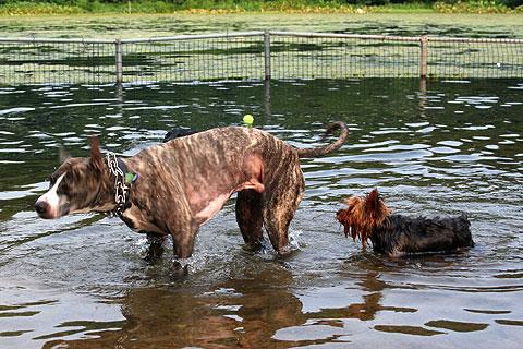 水遊びする犬7