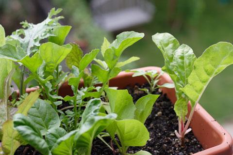 窓際ガーデン・メスキュラン成長ぶり