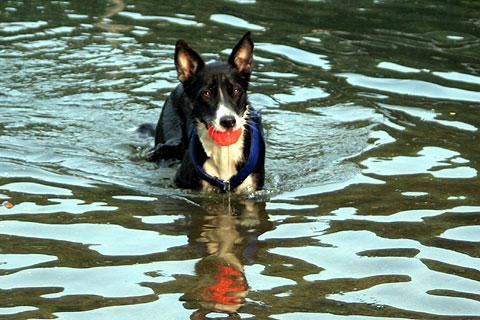 水遊びする犬2