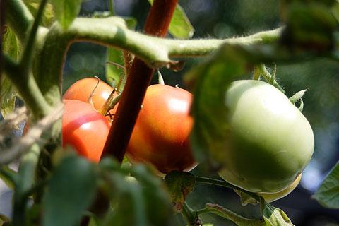 まだまだ赤くなるトマト