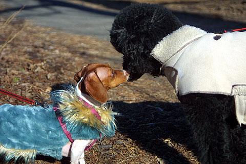 ファッショナブル犬、ビーグルとプードル