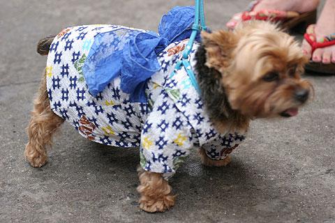 浴衣を着た犬