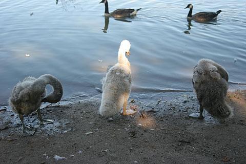 白鳥のひな鳥三羽がらす