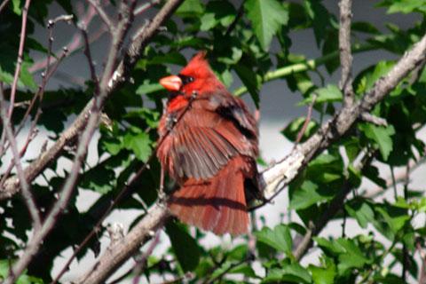 美声の赤い鳥、カージナル