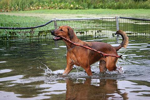 水遊びする犬1