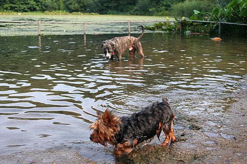 水遊びする犬6