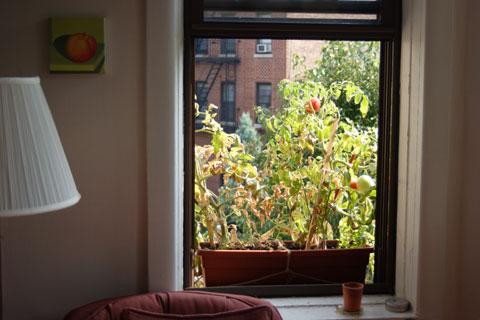 窓際ガーデンのトマト